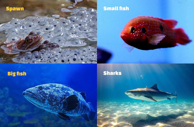 Spawn, Small fish, Big fish, Sharks